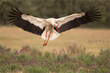 White Stork in lavender field.jpg