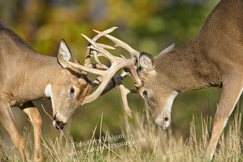 Whitetail Deer - Antler Tangle - WHI-0031.jpg :: Antler Tangle - photo Timothy Flanigan at Nature Exposure