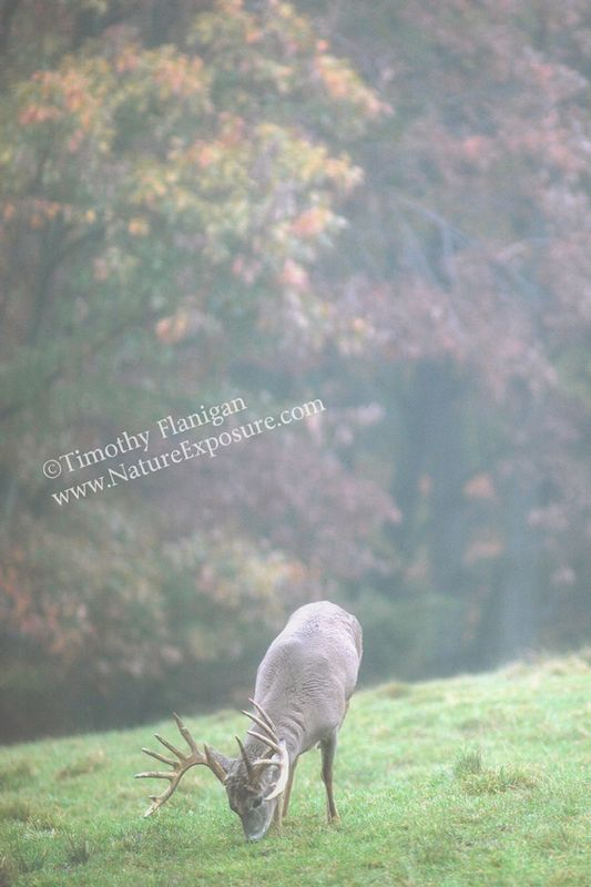Whitetail Deer - Foggy Morning Buck - WHI-0064.jpg :: Foggy Morning Buck - photo Timothy Flanigan at Nature Exposure