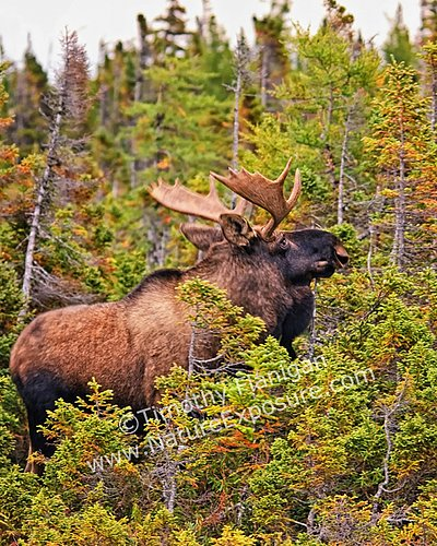 Autumn Maine Bull Moose - MOO-0012.jpg