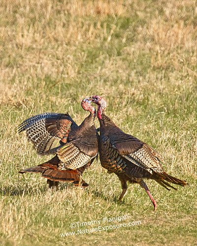 Beak to Cheek Turkeys - TUR-0025.jpg