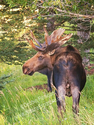 Bull Moose Looking Back - MOO-0013.jpg