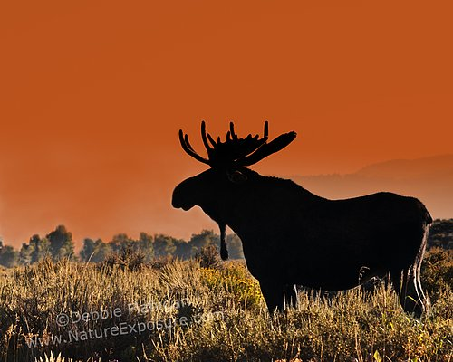 Bull Moose Sunset - MOO-0018.jpg
