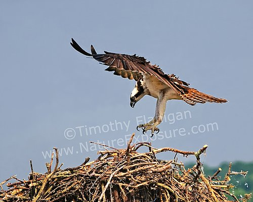 Arrival at the Nest Osprey - RAPOS-0014.jpg