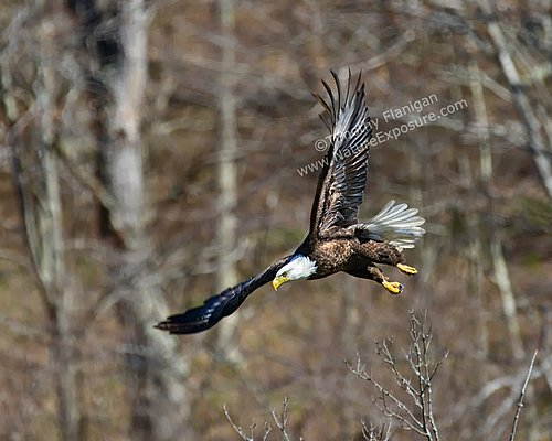 Bald Eagle Diving - RAPEG-0016.jpg