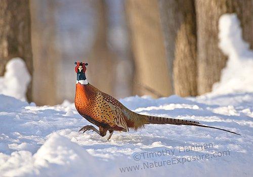 Big Foot Pheasant - PHES-0015.jpg