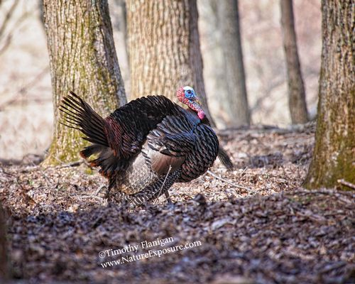 Big Woods Gobbler - TUR-0040.jpg