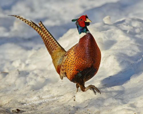 Everywhere Snow Pheasant - PHES-0039.jpg