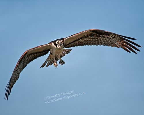 Gliding Osprey - RAPOS-0020.jpg