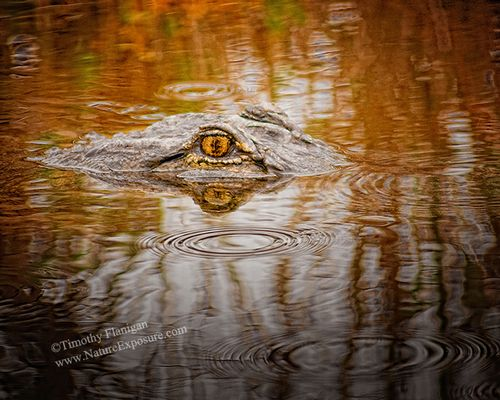 Alligator - Gator Eye Reflected - REP-0019.jpg