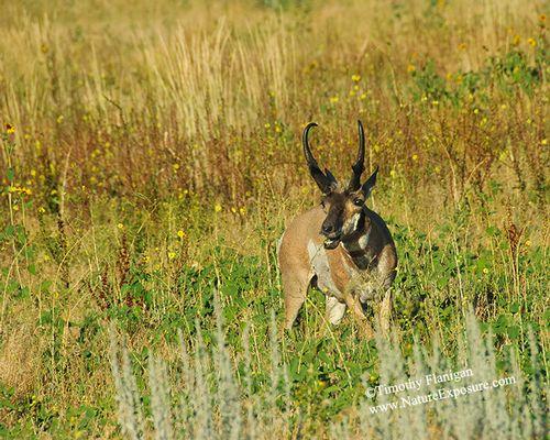 Antelope - Antelope Feeding - ABS-0026.jpg