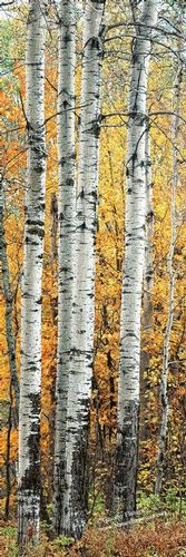 Aspen Trees - FLO-0014 - Odd Size - Canvas Only - (Image sharper than shown) Contact for price.jpg