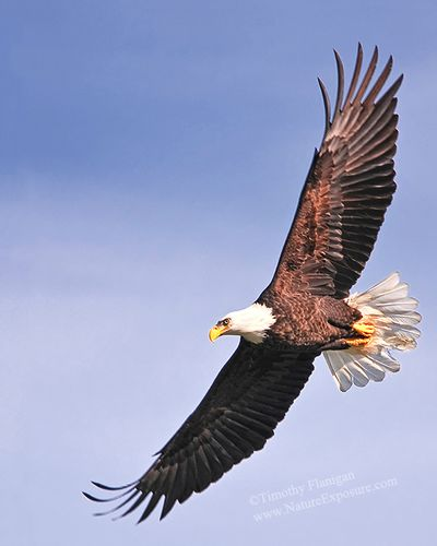 Bald Eagle in Flight - RAPEG-0013.jpg