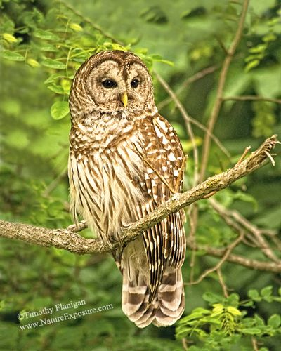 Barred - Barred Owl Perched - RAPOW-0030.jpg