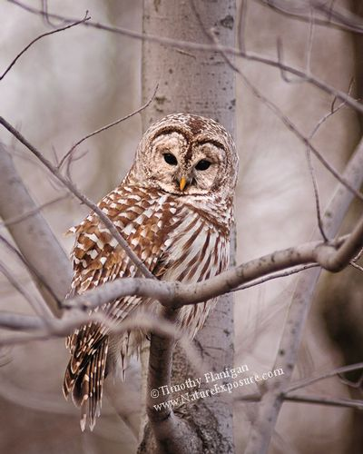 Barred - RAPOW-0010 - Fluffed Up Barred Owl.jpg