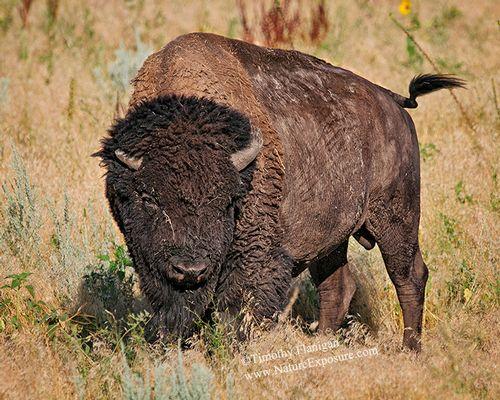 Big Bull Buffalo - BUF-0014.jpg