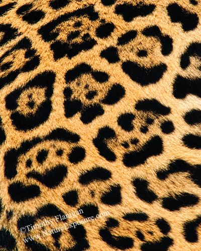 Big Cat Skin - ABC-0023.jpg