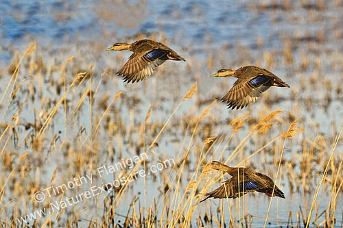 Black - Black Ducks in Flight - WAT-0048.jpg