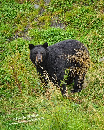 Black Bear - After the Rain Bear - BEA-0079.jpg