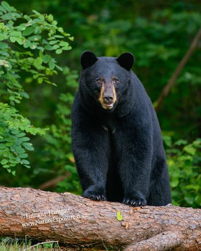 Black Bear - Bear on Downed Tree - BEA-0042.jpg