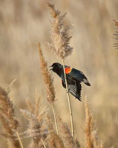 Blackbird - Red Winged Blackbird Sunrise Serenade - SON-0119.jpg