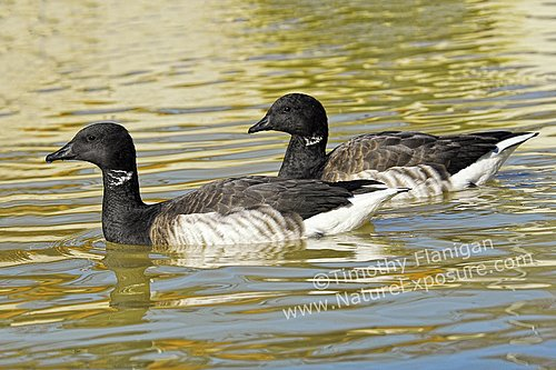 Brant - A Couple of Brant Ducks - WAT-0023.jpg