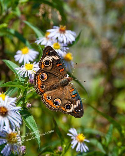 Butterfly - Buckeye - INS-0014.jpg