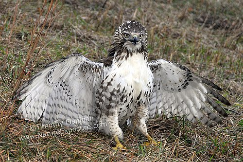 Defensive Juvenile Red-tailed Hawk - RAPH-0017.jpg