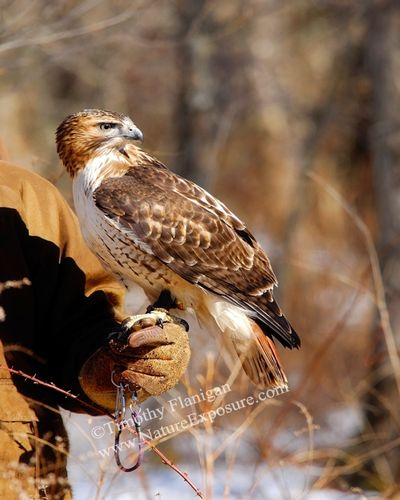 Falconer and Red-tailed Hawk - RAPH-0012.jpg