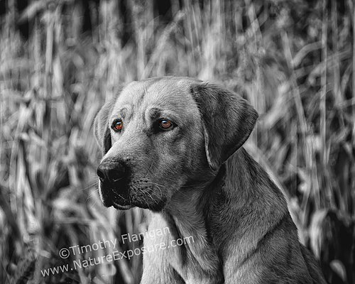 Lab - Windows of His Soul Yellow Lab - DOG-0016.jpg