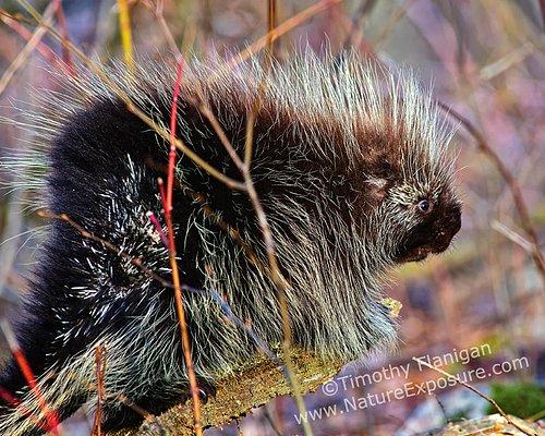 Porcupine - Porcupine - MAM-H-0010.jpg