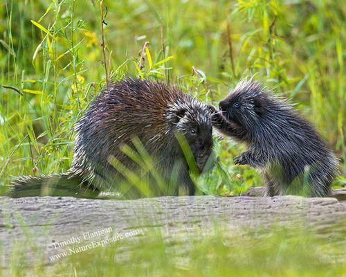 Porcupine - Porcupine and Baby - MAM-H-0014.jpg