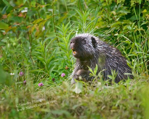 Porcupine - Porcupine in Meadow - MAM-H-0015.jpg