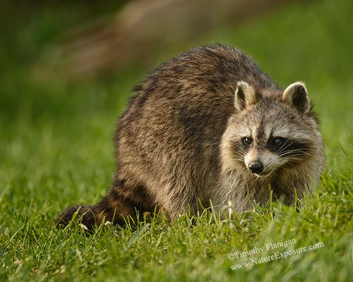 Raccoon - Raccoon - MAM-Q-0023.jpg
