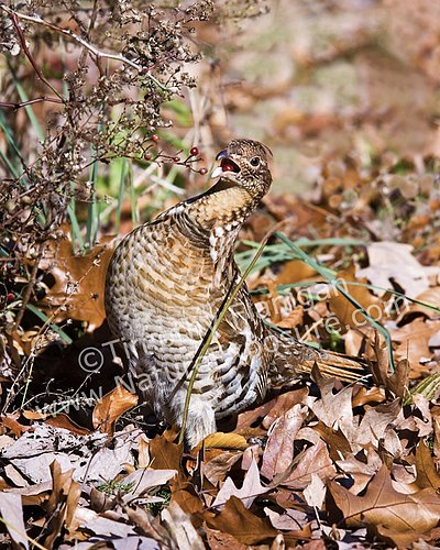 Ruffed Grouse - A Mouthful - GRO-0031.jpg