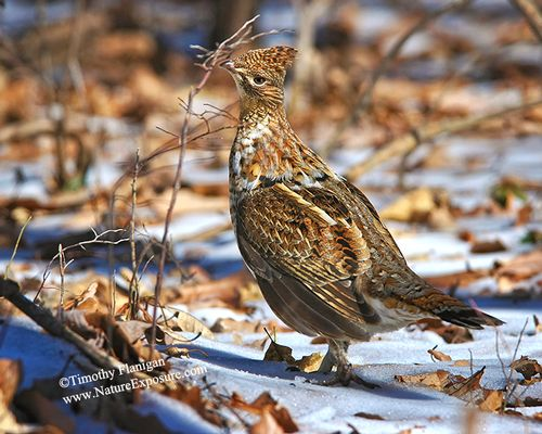 Ruffed Grouse - A Passion for Grouse - GRO-0116.jpg