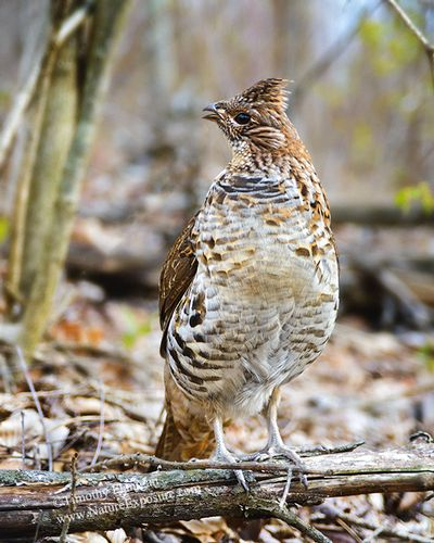 Ruffed Grouse - Alert Grouse Profile - GRO-0086.jpg