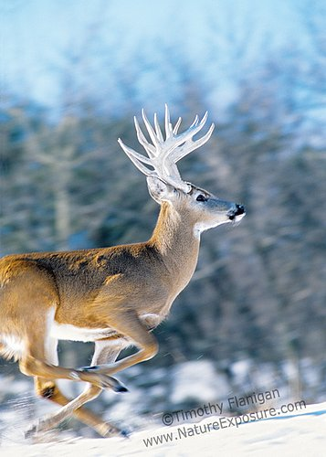 Whitetail Deer - Buck on the Run - WDIW-0021.jpg