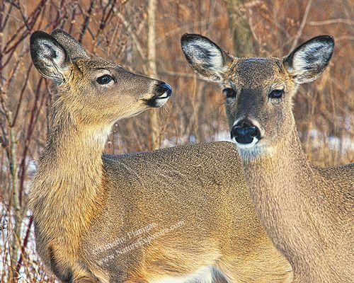 Whitetail Doe - Antlerless Deer Pair - WDOF-0016.jpg