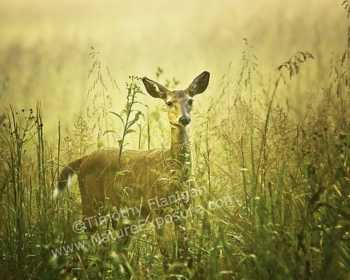 Whitetail Doe - Doe in Field - WDOF-0012.jpg