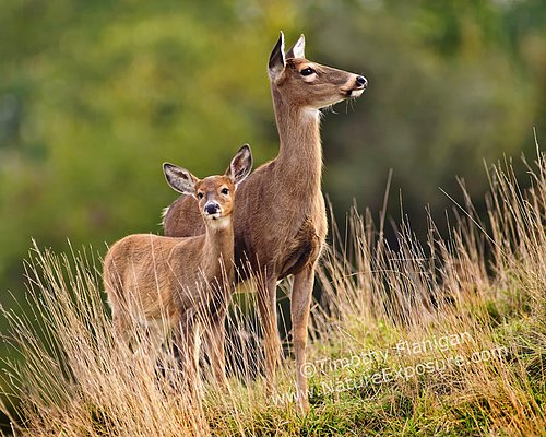 Whitetail Doe - Hillside Doe and Fawn - WDOF-0013.jpg