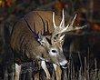 Whitetail Deer Antler Shadow - WHI-0011.jpg