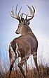 Whitetail Deer Buck at Overlook - WHI-0027.jpg