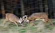 Whitetail Deer - A Blur of Fighting Whitetails - WHI-0015.jpg