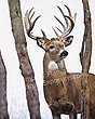 Whitetail Deer - Big Buck - WHI-0014.jpg