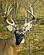 Whitetail Deer - Black Locust Buck -WHI-0028.jpg