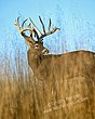 Whitetail Deer - Broken Tine Buck - WHI-0050.jpg