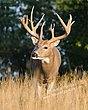 Whitetail Deer - Buck Approach - WHI-0034.jpg