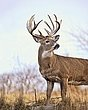 Whitetail Deer - Farm Buck - WHI-0019.jpg