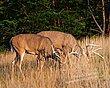 Whitetail Deer - Feeding Bucks - WHI-0039.jpg